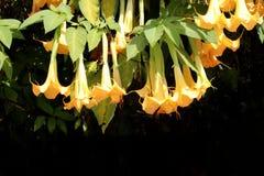Gelbe Blumen, die vom Baum hängen Stockfotos