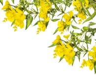 Gelbe Blumen, Eckzarge, lokalisiert auf Weiß Stockfotografie