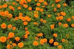 Gelbe Blumen in einem Garten Stockfoto