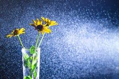 Gelbe Blumen in einem Glasvase mit Wasserspray in einem Lichtstrahl auf einem dunklen Hintergrund Stockbilder