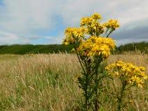 Gelbe Blumen in einer Wiese stockbild