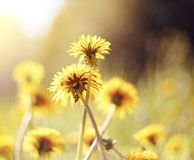 Gelbe Blumen eines Löwenzahns Stockfoto