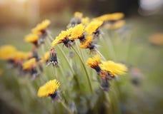 Gelbe Blumen eines Löwenzahns Lizenzfreies Stockfoto