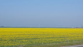 Gelbe Blumen-Felder Stockfoto