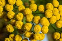Gelbe Blumen, Fibonacci Stockfoto