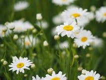 Gelbe Blumen gegen blauen Himmel Stockbilder