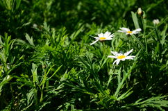 Gelbe Blumen gegen blauen Himmel Stockbild