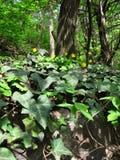 Gelbe Blumen, goldene Blume, Hedï-¿ ½ Ra hï ¿ ½ lix Teppich von Blumen Stockfotos