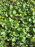 Gelbe Blumen, goldene Blume, Teppich von Blumen Lizenzfreies Stockbild
