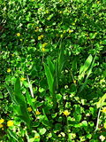 Gelbe Blumen, goldene Blume, Teppich von Blumen Stockfotos