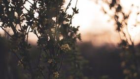 Gelbe Blumen Himbeere und schwarze Johannisbeere des Fr?hlinges bei Sonnenuntergang Gefrorene Baumblumen nach Frost stockfotos