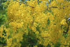 Gelbe Blumen im Blütensommer Baum der goldenen Dusche Stockfotografie