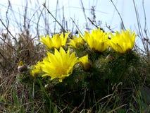 Gelbe Blumen im Frühjahr Stockfotos