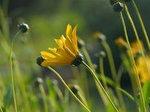 Gelbe Blumen im Garten belichtet durch den af Stockfotos