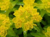 Gelbe Blumen im Garten stockbilder