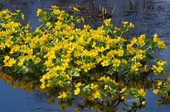 Gelbe Blumen im Pool im Frühjahr Stockfotos