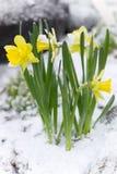 Gelbe Blumen im Schnee Lizenzfreie Stockfotos