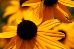 Gelbe Blumen, Makronaturfotografie, großes Gänseblümchen stockfoto