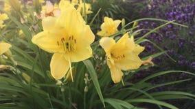 Gelbe Blumen mit Ameisen im Park stock video