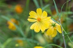 Gelbe Blumen mit Regentropfen Lizenzfreies Stockbild