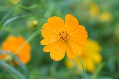 Gelbe Blumen mit Regentropfen Stockfotografie