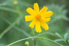 Gelbe Blumen mit Regentropfen Stockbilder
