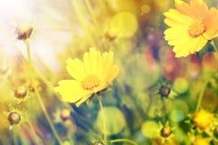 Gelbe Blumen mit Sonnenschein über natürlichem Hintergrund Stockbild