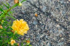 Gelbe Blumen oder Portulaca-oleracea stockfotografie