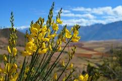 Gelbe Blumen in Peru Stockfotos