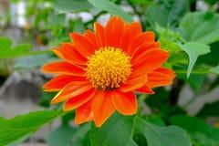 Gelbe Blumen umgeben durch rote Blumenblätter mit grünen Blättern von den tropischen Regenwäldern stockfotos