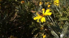 Gelbe Blumen und Biene stock footage