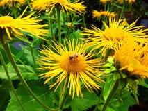 Gelbe Blumen und Biene des echten Alants Stockbilder