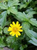 Gelbe Blumen- und Grünblätter Stockfoto