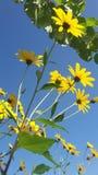 Gelbe Blumen- und Himmelliebe stockbild