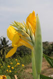 Gelbe Blumen und Knospen Canna Lizenzfreies Stockbild