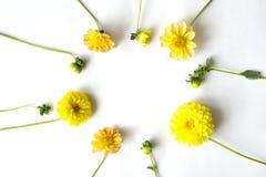 Gelbe Blumen und Knospen Zinnias ausgebreitet in einem Kreis Lizenzfreies Stockbild