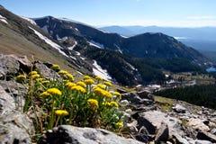Gelbe Blumen und Schnee mit einer Kappe bedeckter Rocky Mountains Stockbilder