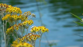 Gelbe Blumen und Seewasser in der Natur stock video footage