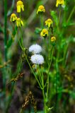 Gelbe Blumen und weiße Löwenzahnknospen Ein Feld des wilden Grases hinter dem Bauernhof stockbilder