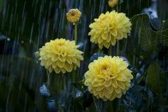Gelbe Blumen unter dem Regen Stockbild