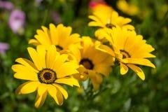 Gelbe Blumen von dimorfoteka Lizenzfreie Stockfotos
