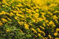 Gelbe Blumen von groß-geblüht tickseed oder Coreopsis grandiflo stockfoto