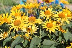 Gelbe Blumen von groß-geblüht tickseed oder Coreopsis Grandiflora lizenzfreie stockbilder