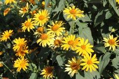 Gelbe Blumen von groß-geblüht tickseed oder Coreopsis Grandiflora stockfotos