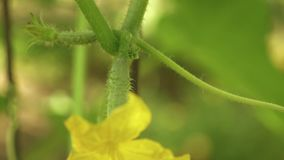 Gelbe Blumen von Gurken blühen auf dem Busch blühende Gurken angebaut im offenen Boden Plantage von Gurken stock video footage