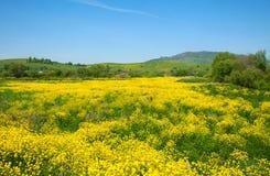 Gelbe Blumen von Raps Stockfoto