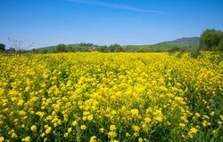 Gelbe Blumen von Raps Stockbild