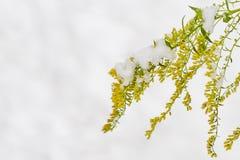 Gelbe Blumen von Solidaginis-Kraut sind unter Schnee Lizenzfreie Stockfotos