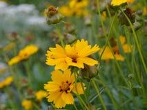 Gelbe Blumen von tickseed Coreopsis Stockfotos
