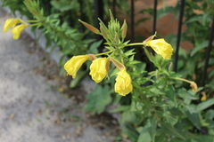 Gelbe Blumen wachsen nahe dem grünen Zaun Stockfotos